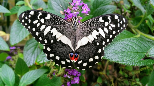 Christmas Butterfly,  Papilio demodocus