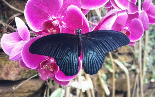 Great Yellow Mormon, Papilio lowi