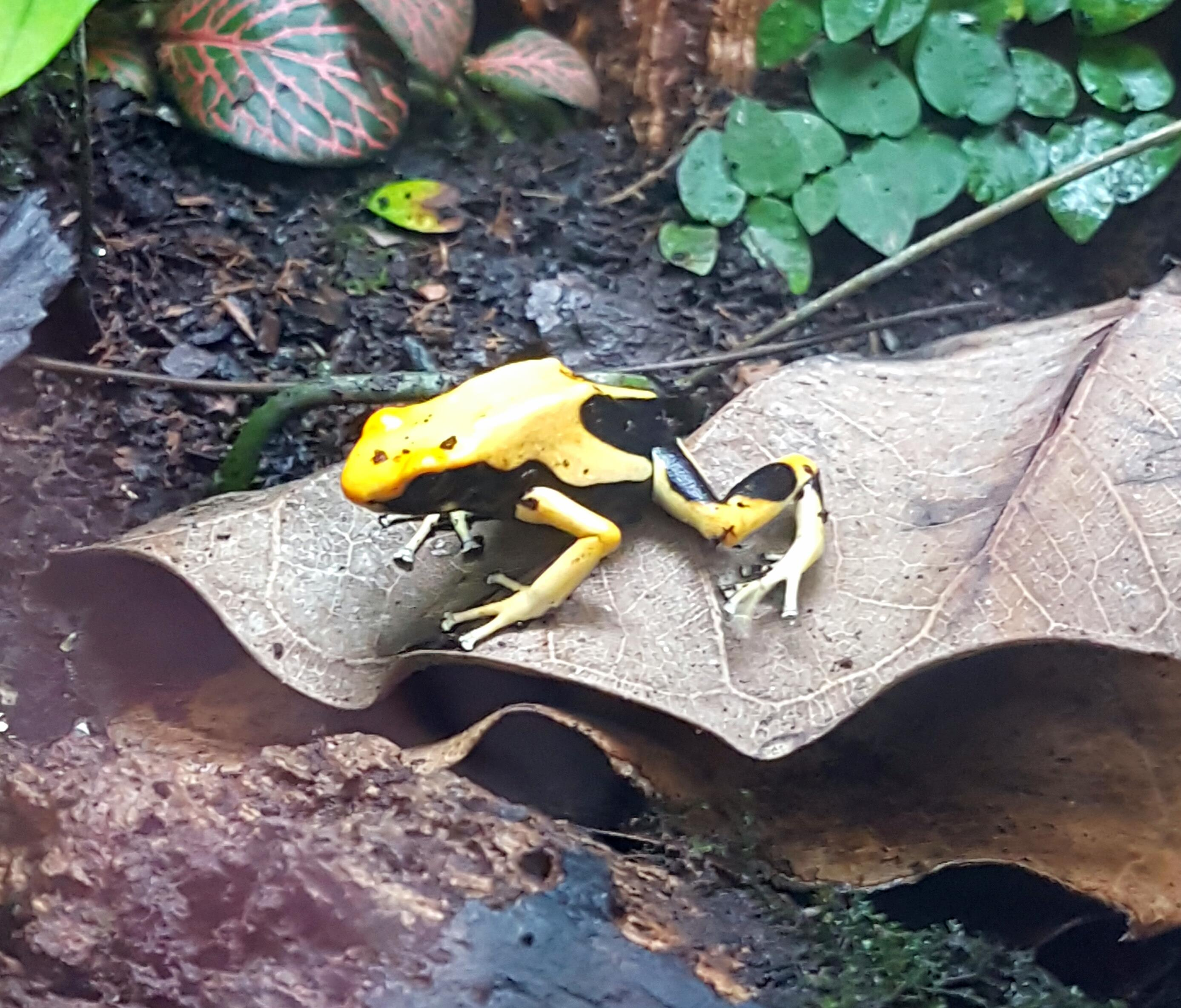 Dying Poison Arrow Frog