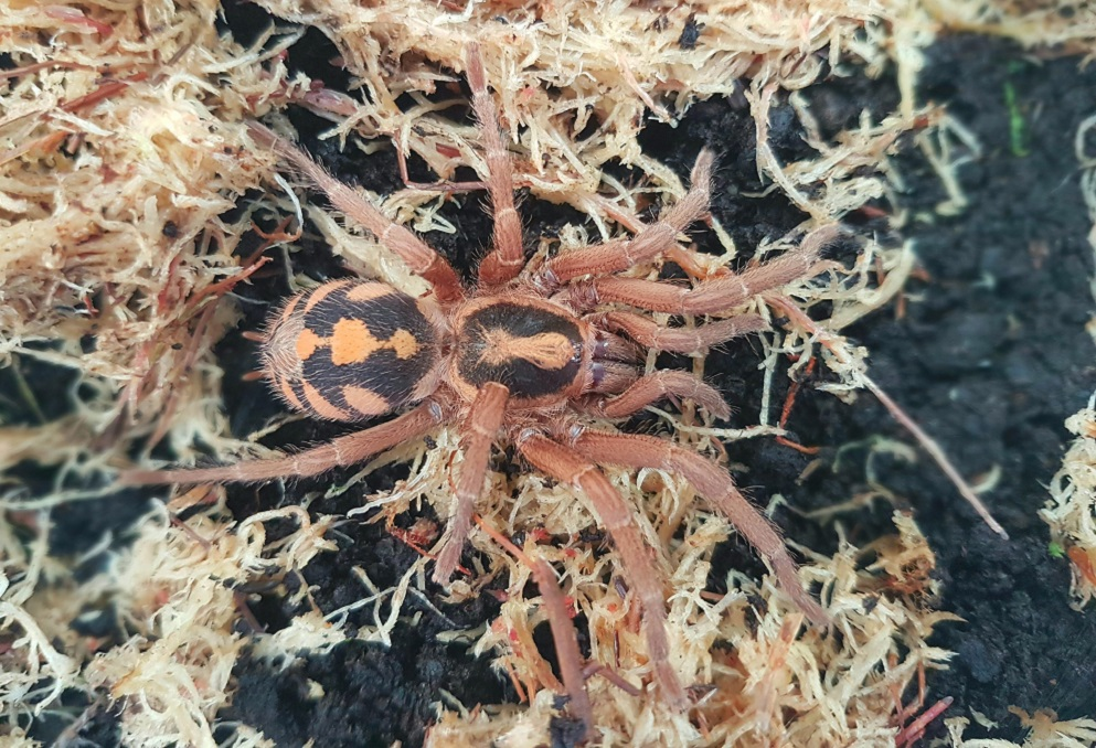 Pumpkin Patch Tarantular