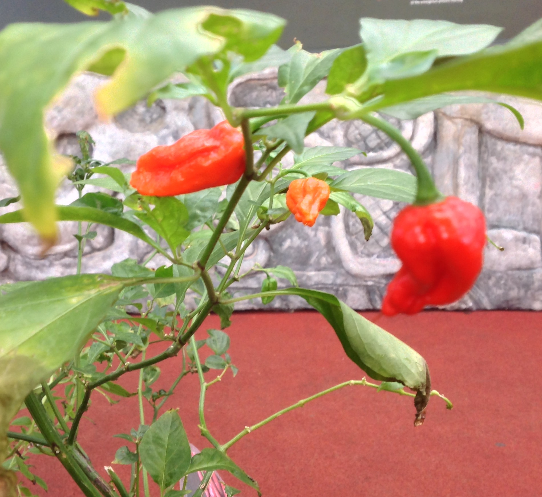 Chilli Peppers in the Discovery Zone