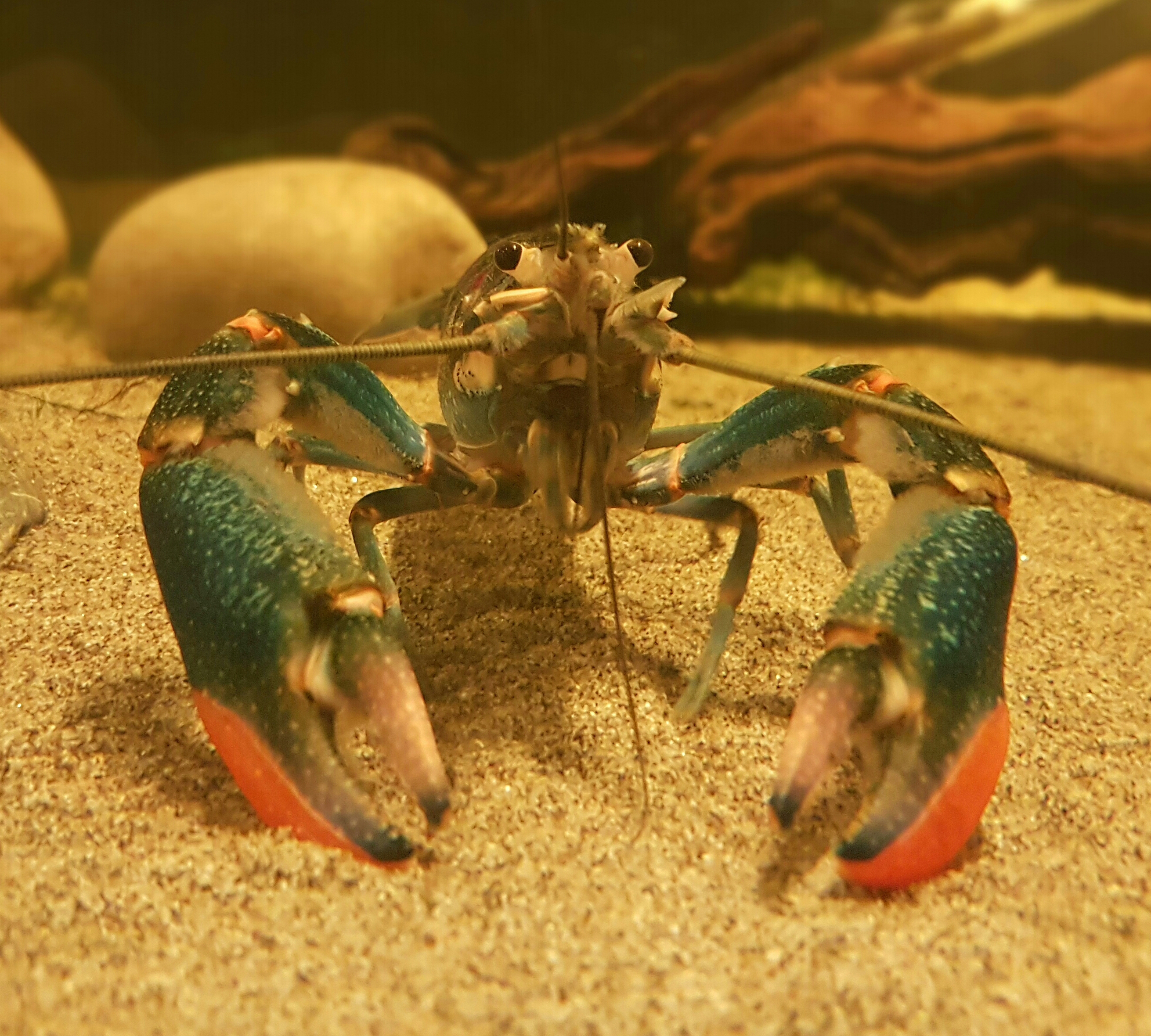 Red Clawed Crayfish
