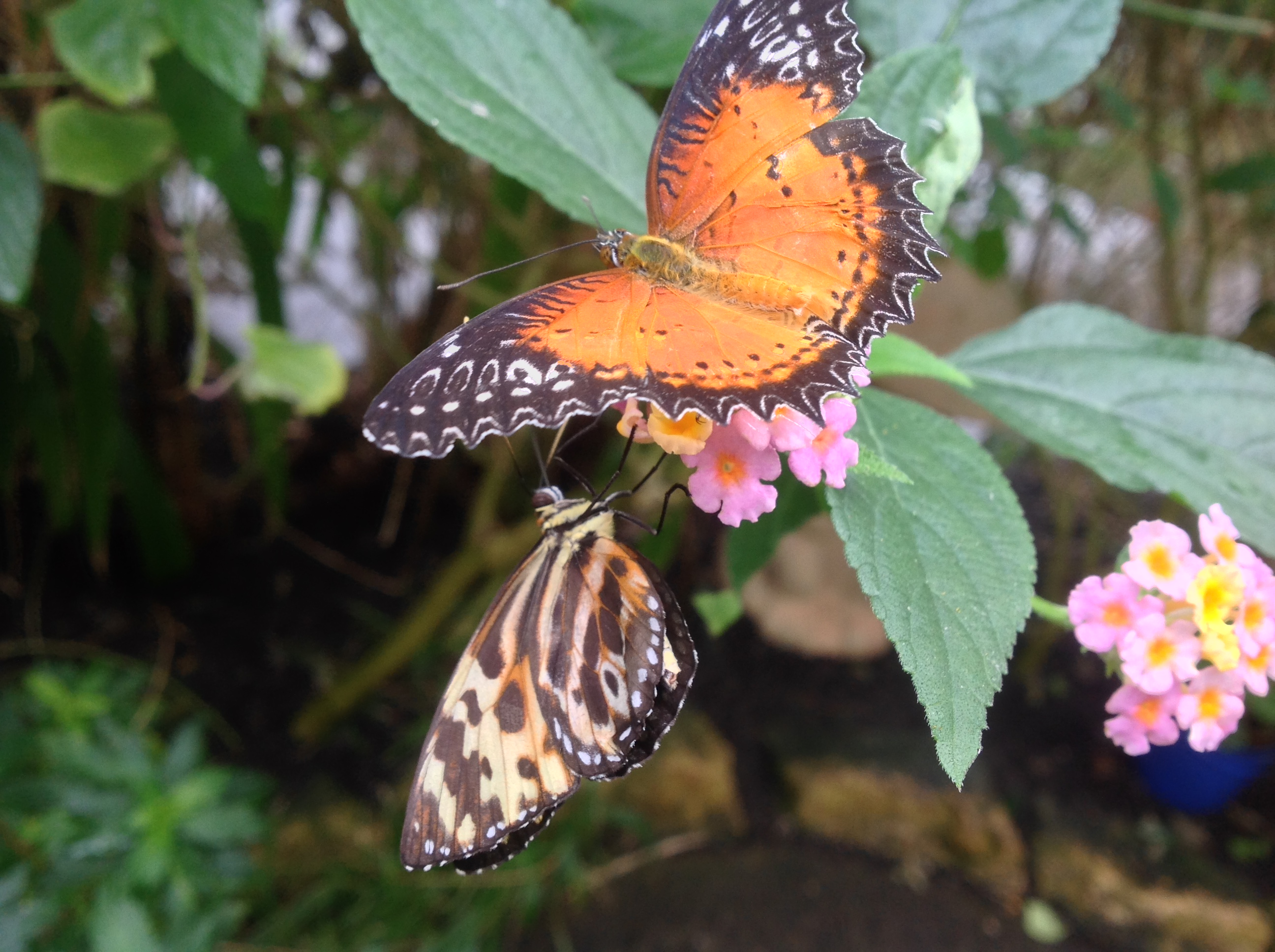 Butterflies feeding on Lantana