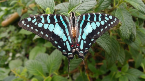 Coastal Swordtail, Graphium porthaon