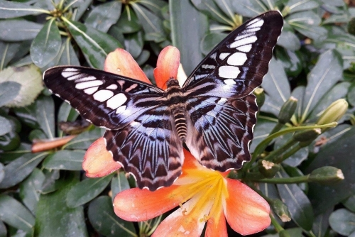 The Clipper, Pathenos Sylvia violaceae