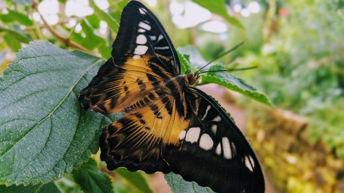 Clipper, Parthenos sylvia sylvia